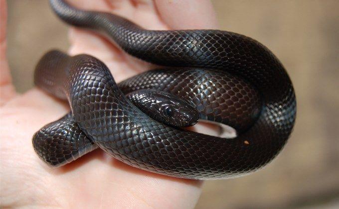 メキシカンブラックキングスネークの飼育方法 値段の相場や人気のモルフは Woriver 珍しいペット 爬虫類 ケージ 虫かご