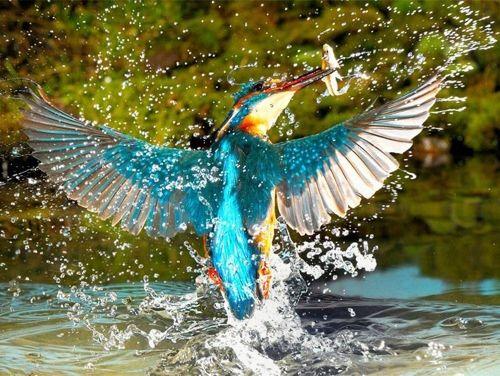 VissendeIJsvogel in close-up De ijsvogel is met zijn opvallend blauw en oranje kleuren een van de meest kleurrijke vogels in onze omgeving. Je kan hem met geen enkele andere inheemse …