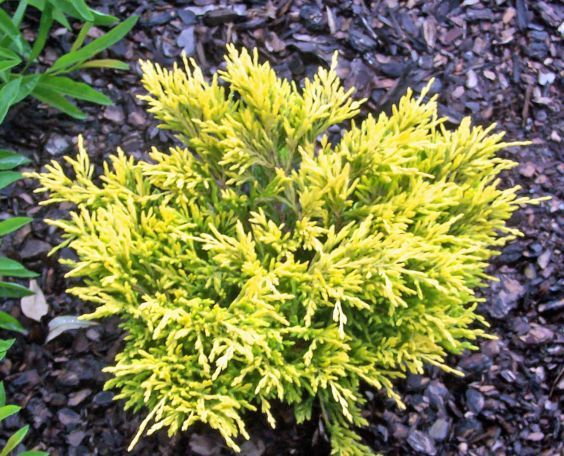 Juniper lime glow a low growing evergreen good for small for Low growing plants for landscaping