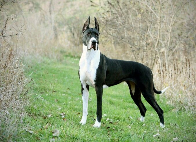 I miss me and my mom's great danes ! RIP Lily & Rebel . <3
