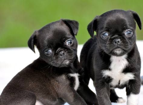 pug mixed with chihuahua 1000 images about pug mixed breeds on pinterest chugs 8924