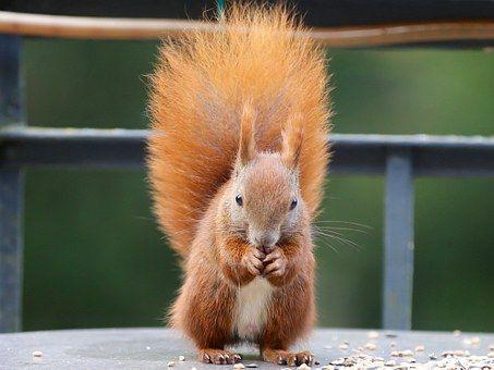 Wiewiórka, Eichkater
