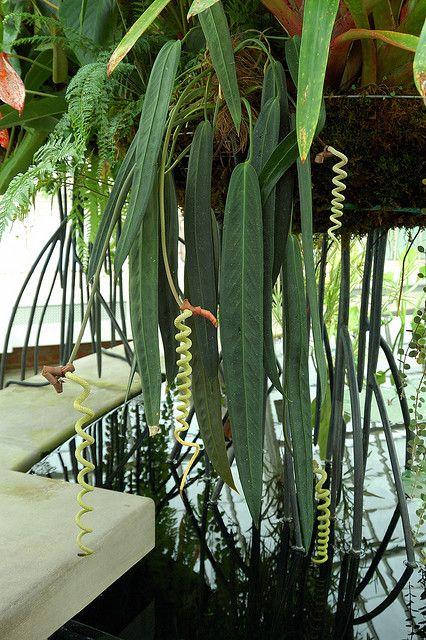 Anthurium wendlingeri   Flickr - Photo Sharing!