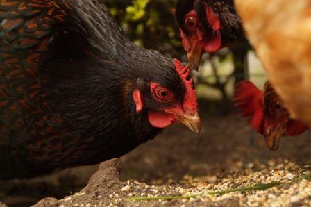 Beestenplein Blog  5 voordelen van kippen als huisdier
