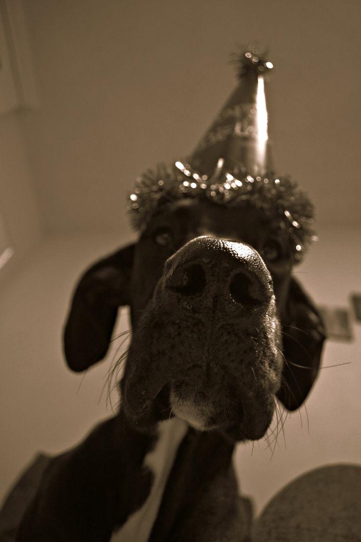 Great Dane, First Birthday , Dog, Dog birthday, Happy Birthday, Black and White Great Dane ,