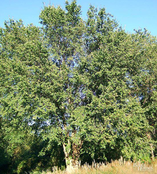 17 mejores ideas sobre rboles de sombra en pinterest for Arboles de sombra para jardin