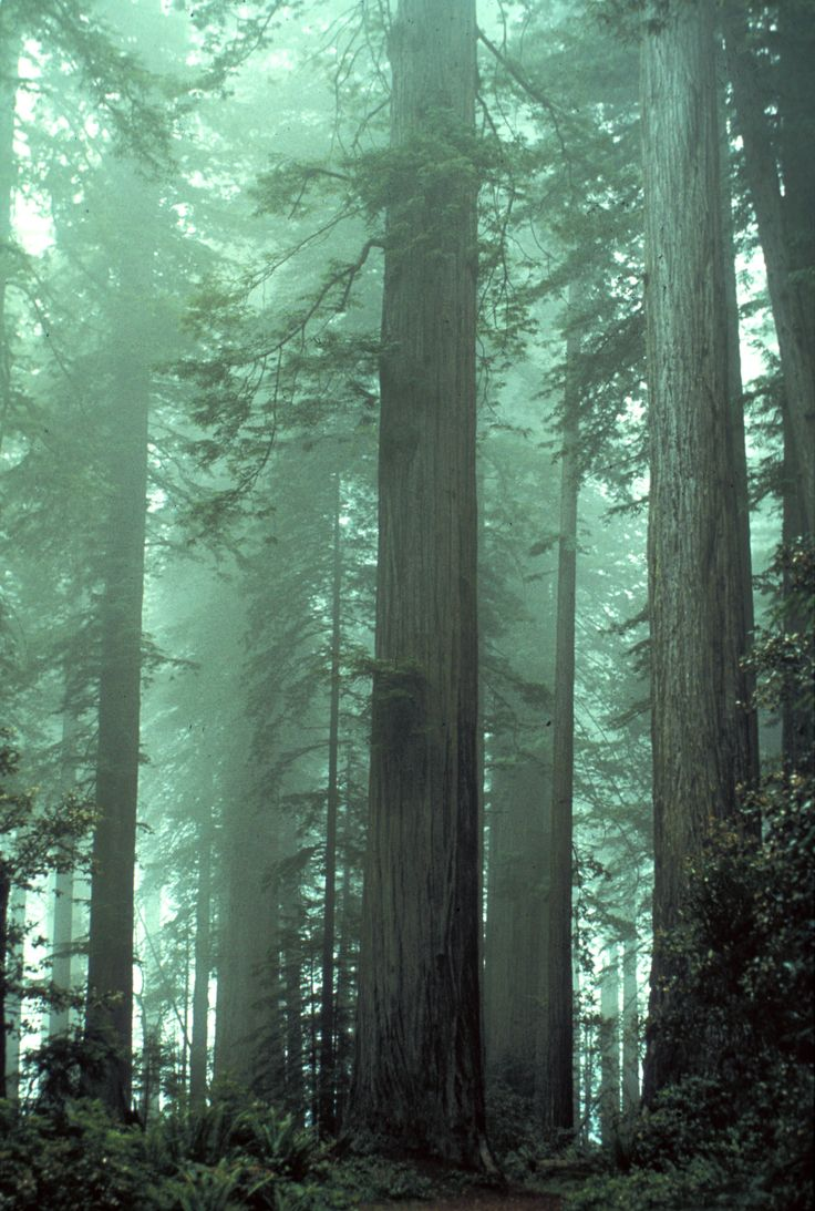 Coast Redwoods - Redwood National and State Parks ~ Imagine finding yourself lost in this place! wow!