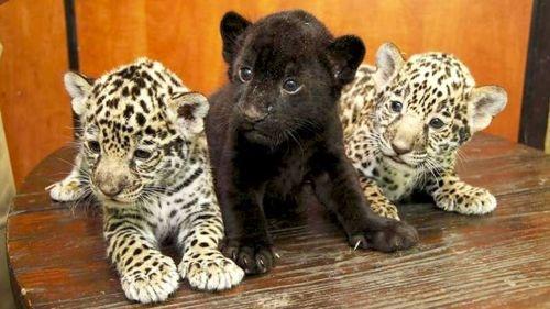 3 Baby Jaguars Animal Lover Pinterest Baby Jaguar