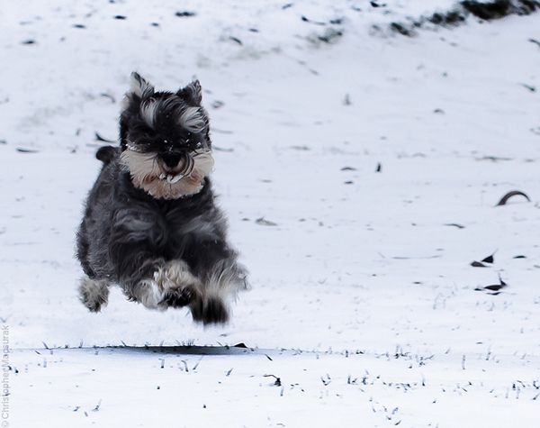 Get to Know the Miniature Schnauzer - breed info from Dogster