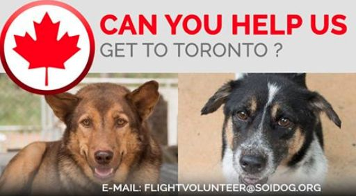 Are you departing from THAILAND and flying to Toronto, CANADA?  Flight volunteers wanted!  Can you help us get adopted dogs like Cougar and Raghat to their new homes?  If you are traveling FROM Thailand TO Toronto, on BOOKED tickets with Thai Airways, All Nippon Airways (ANA), China Airlines, Qatar, Korean Air, JAL, EVA, Lufthansa or KLM, please EMAIL jan@soidog-foundation.org for more information.  http://www.soidog.org/en/be-a-flight-volunteer