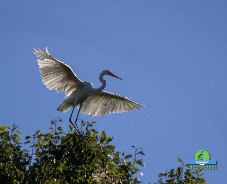 Little egret - egretta - Garzetta -  #bird #birdwatching