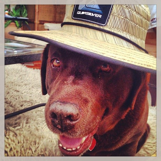 Joe, the Labrador, rocking his favorite Quicksilver hat
