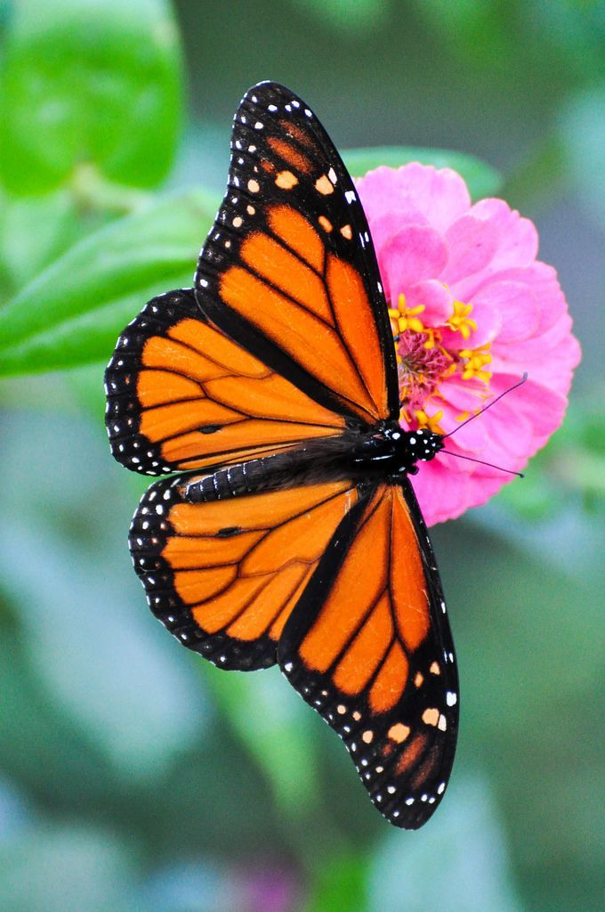 Showing the beauty of its wings!  Monarch Butterfly | Flickr - Photo Sharing!