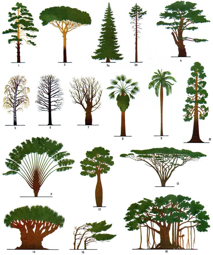 1.Pinus sylvestris; 2.Pinus pinea; 3a.Picea abies (from forest); 3b.Picea abies (from open place); 4.Cedrus libani subsp. libani; 5.Betula pendula; 6.Alnus; 7.Salix alba; 8.Washingtonia; 9.Roystonea; 10.Sequoiadendron giganteum; 11.Ravenala madagascariensis; 12.Brachychiton; 13.Acacia tortilis; 14.Dracaena; 15.Krumholtz formation; 16.Banyan tree (Ficus benghalensis); Pinned from http://dendrology.ru/forest/item/f00/s02/e0002421/index.shtml