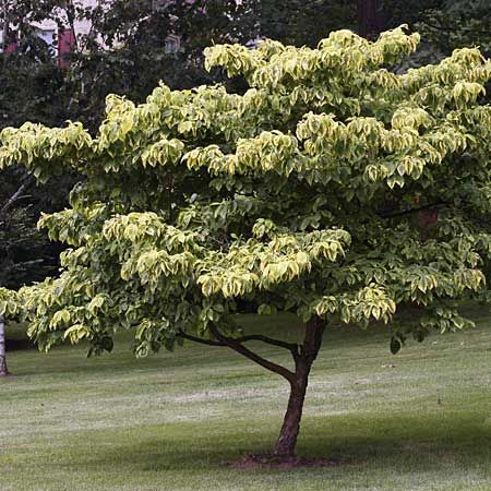 Pinterest the world s catalog of ideas for Best small shade trees