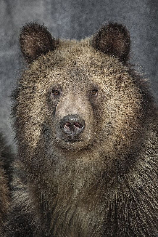 Various bear images have been depicted on California's flag until 1953, when an artist was commissioned to design the official state flag featuring a grizzly bear.