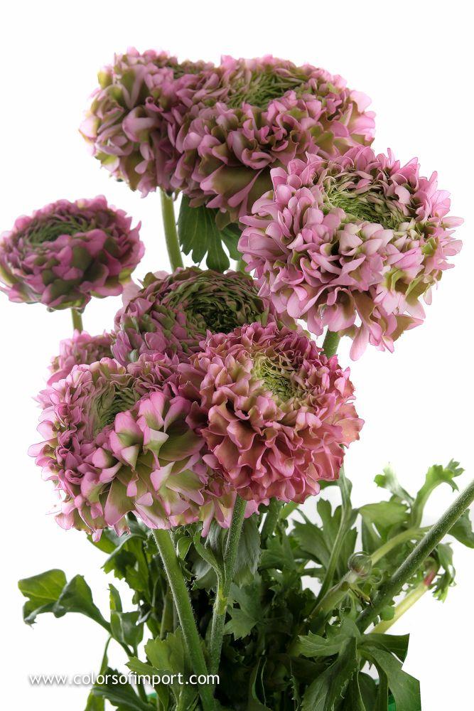 Ranunculus www.colorsofimport.com
