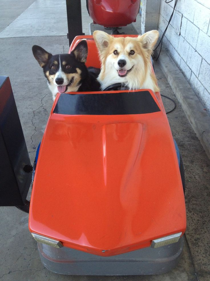 1000 Images About Corgis At The Wheel On Pinterest