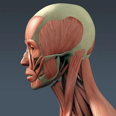 3d model of human muscular system and skeleton - anatomy | muscles, Muscles