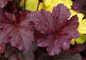 Heuchera Midnight Rose Select | Height 30cm |  Eventual Spread 30cm |  - See more at: http://www.jacksonsnurseries.co.uk/heuchera-midnight-rose.html#sthash.oecgOxvg.dpuf