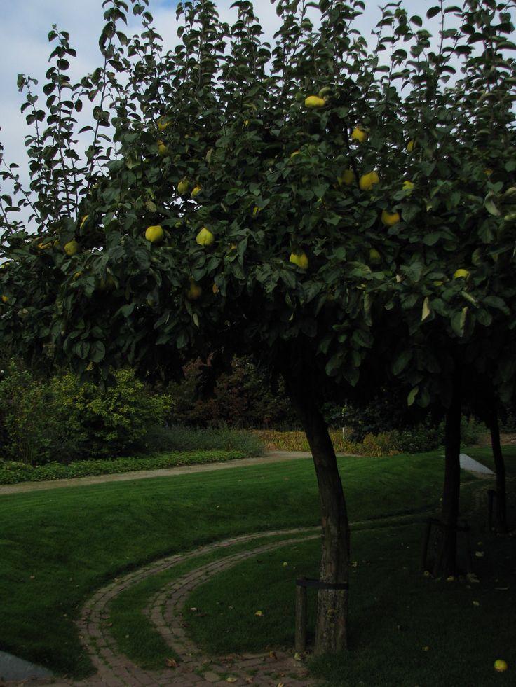 Cydonia oblonga = kweepeer, opgaande struik (kleine boom) tot 3 m. bloeit wit in mei, vruchten als harde peren, geel, geurend en eetbaar.