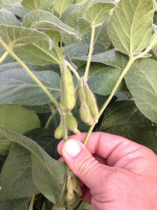 This is just one of the reasons to grow Dekalb 32-61RY. Great top cluster on majority of plants @DEKALB_Canada pic.twitter.com/L0DlTYQJGm #ontag