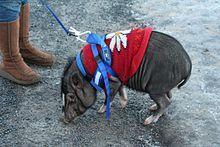 Les cochons nains, vietnamiens ou chinois ont tous une caractéristique commune par rapport aux autres types de cochons : ils sont tous de petite taille.