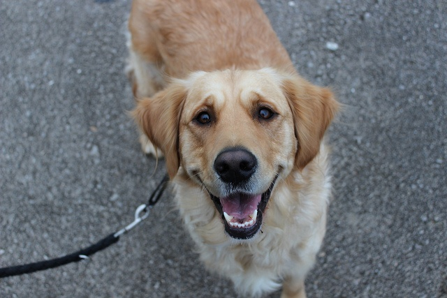 8 best family dog breeds pups pinterest - Best dog breeds kids ...