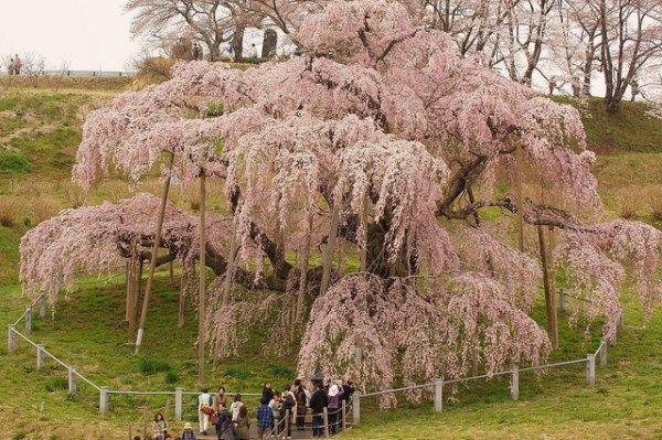 10 Famous Sakura Trees To Visit In Japan Kyuhoshi Blossom Trees Cherry Blossom Tree Sakura Tree