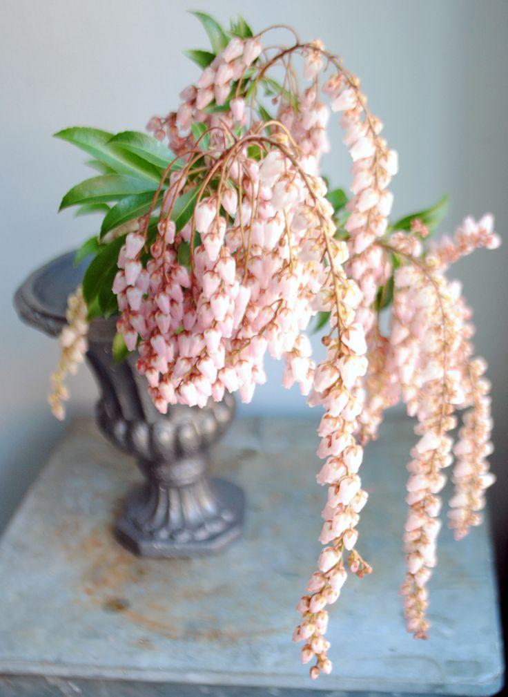 Name: Andromeda Polifolia  Nickname: Japanese Pieris, Bog Rosemary, Lily of the Valley Shrub