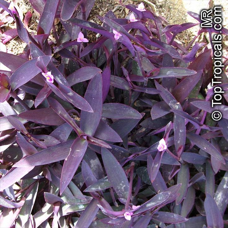 Tradescantia Pallida Setcreasea Pallida Purple Heart Purple Queen Purple Heart Plant Garden Catalogs Plants