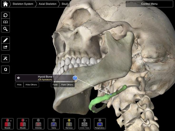 Hyoid bone skeletal system pinterest