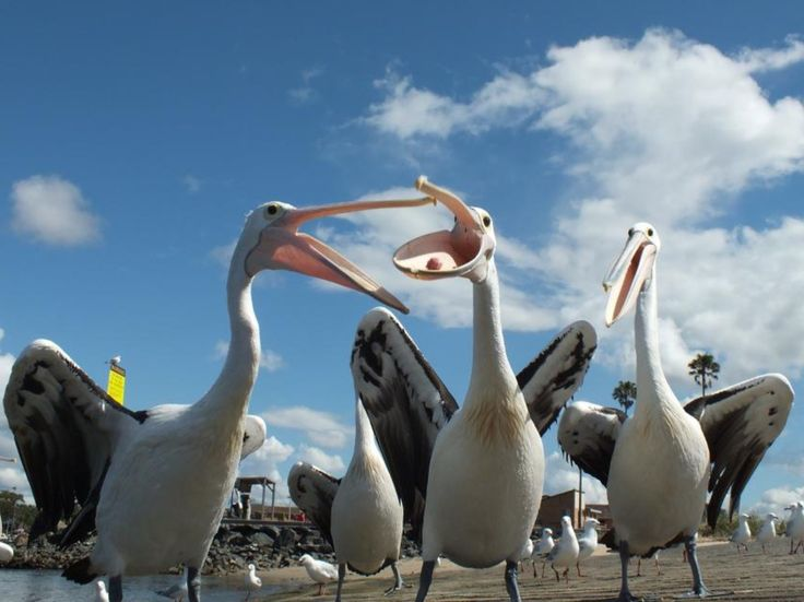 Pelicans on the boat ramp in Tuncurry,NSW,Australia