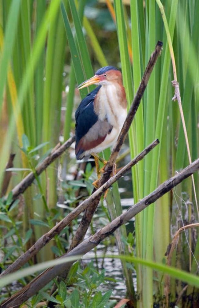 SMN columnist Diana Churchill captures the beauty of the ... Least Bittern Baby