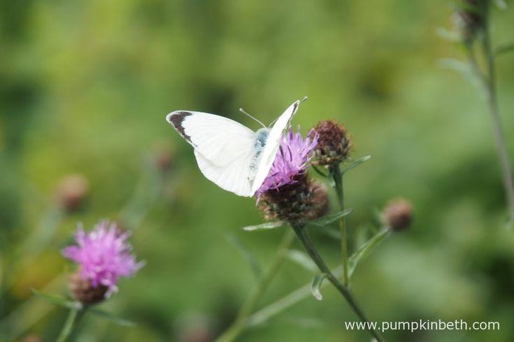 A Large White butterfly feeding on Centaurea nigra