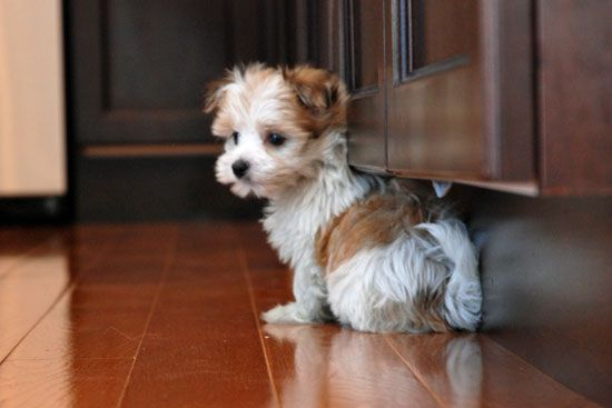 Morkie Puppy white and brown