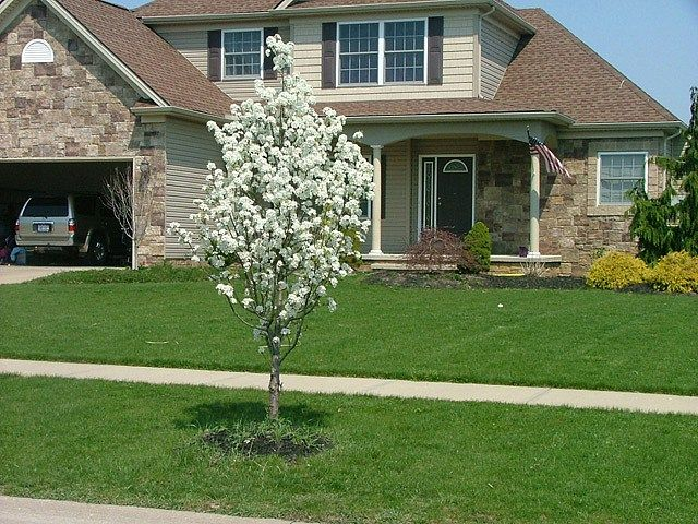 17 best images about trees on pinterest pear trees for Small flowering trees for front yard