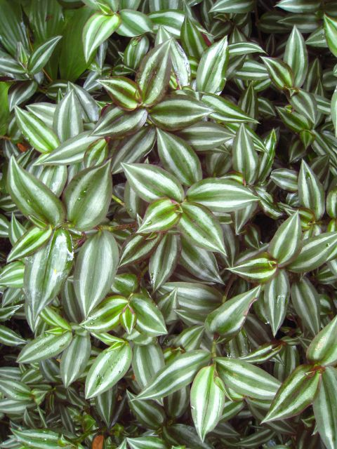 colorful wandering jew houseplants look great in front of a window http