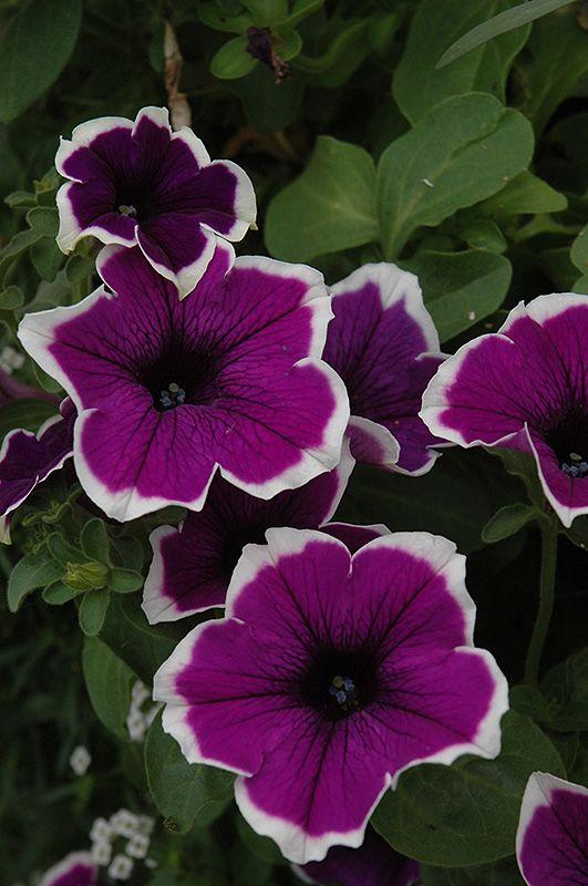 Click to view full-size photo of Cascadias Violet Skirt Petunia (Petunia 'Cascadias Violet Skirt') at Hicks Nurseries