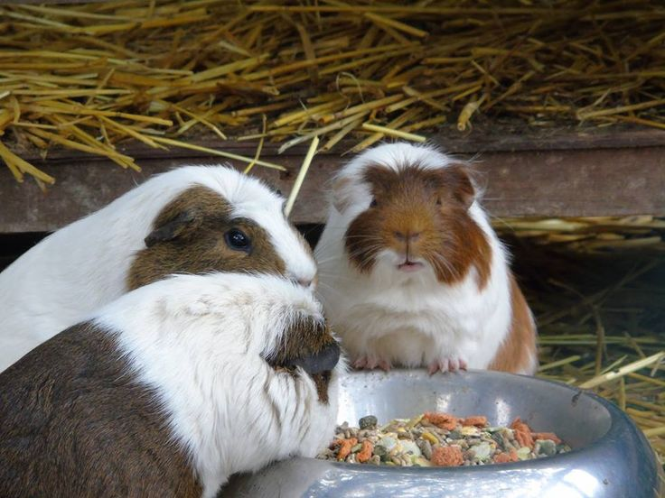 #KnockhatchCaption #guineapig Do you have a caption to add to this photo? >>>