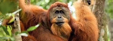Orang Utan's time. Big Orang Utan.Scary but cool. Borneo Island. Nature Life.