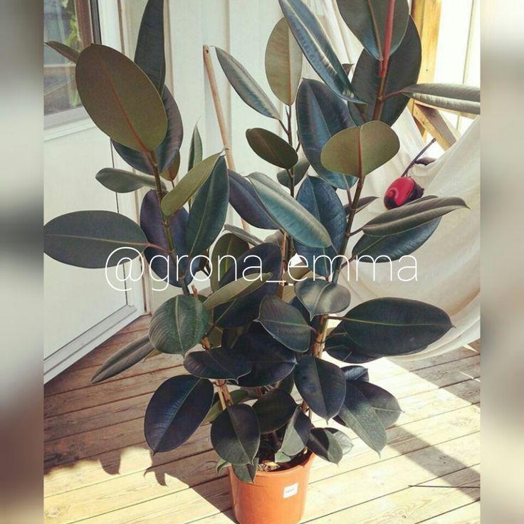 Fönsterfikus, Ficus elastica. Låt stå ljust men ej i direkt sol. Ge mycket vatten vid vattning och låt torka ut mellan. Tål torr luft. Undvik drag. Toppa plantan om du vill att den ska grena sig.