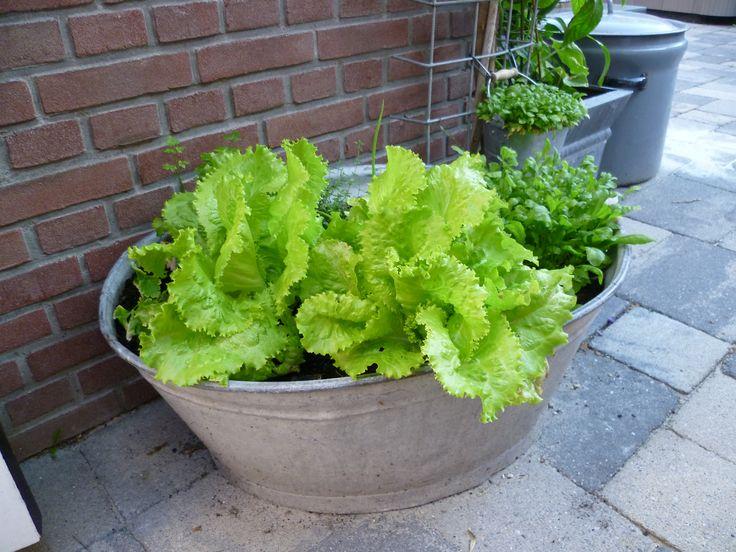 onze groente tuin, gewoon in een zinken bak.