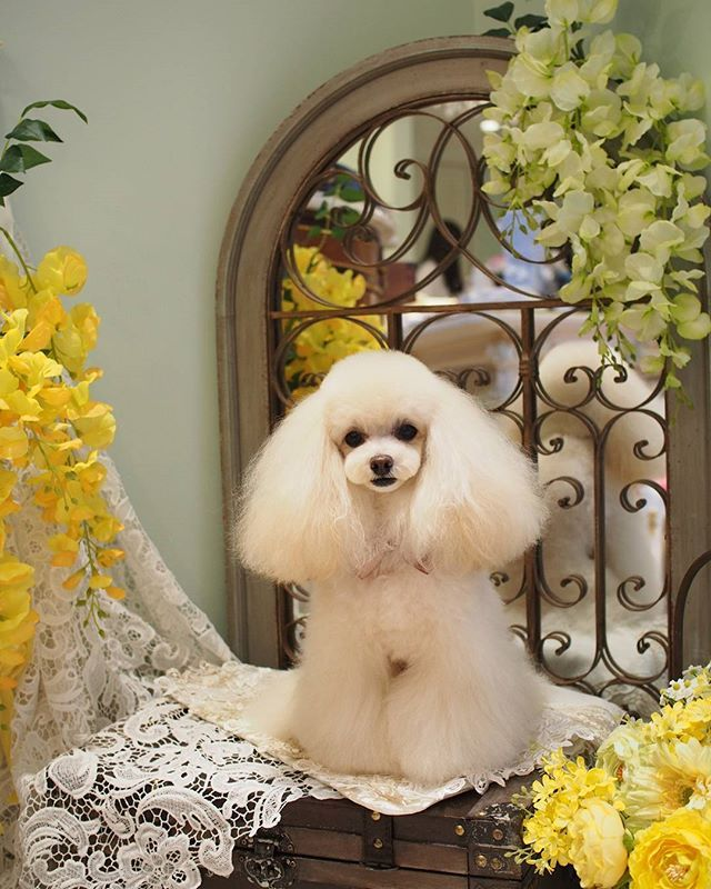 The prettiest poodle I've seen in a long time