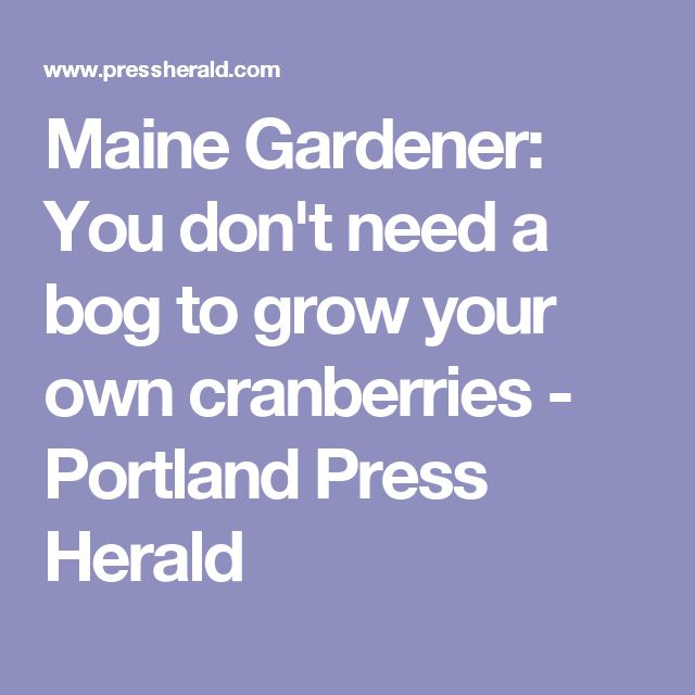 Maine Gardener: You don't need a bog to grow your own cranberries - Portland Press Herald