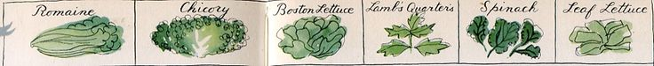 'Lettuces and other salad greens', illustration by Alice and Martin Provensen for James Beard's Fireside Cook Book, 1949.  Shown here, Romaine, Chickory, Boston, Lettuce, Lamb's Quarters (!), Spinach, and Leaf Lettuce. (Press enlarge--plus sign--to see better.)