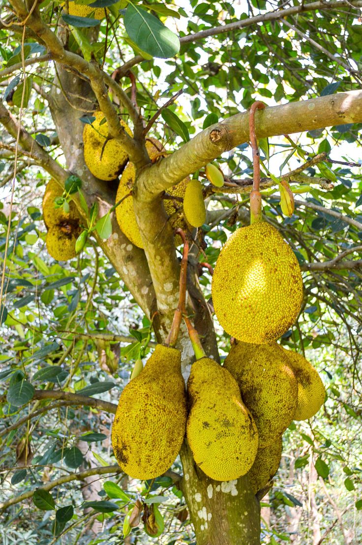 Jackfruit Tree Info: Tips For Growing Jackfruit Trees__Jackfruit can be used as a meat substitute. V.