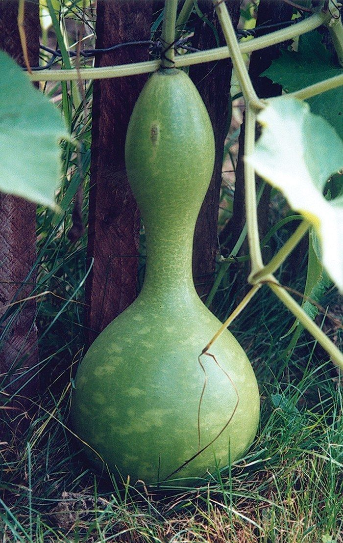 BIRD HOUSE GOURD (95-110 days)