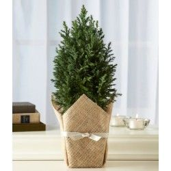 Junipers vary in size and shape. They are evergreen with needle-like and/or scale-like leaves.   It comes with new pot. Packaging shown is only for reference. http://livinggifts.co.in/green-juniper-plant