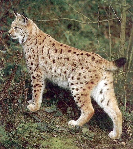 61 best Lynx - Bobcat images on Pinterest